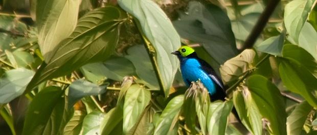 Tangara del paraíso: color en las copas – ¡Conócelas! 165 – Grupo Local SEO BARCELONA