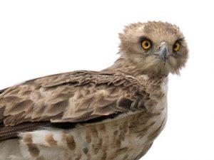 Culebrera europea: el águila de marzo – ¡Conócelas! 178 – Grupo Local SEO BARCELONA