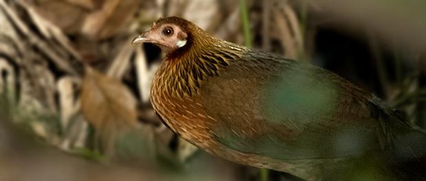 Gallo bankiva: el abuelo de la gallina – ¡Conócelas! 185 – Grupo Local SEO BARCELONA