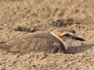 Chorlitejo patinegro: ave del año 2019 – ¡Conócelas! 186 – Grupo Local SEO BARCELONA