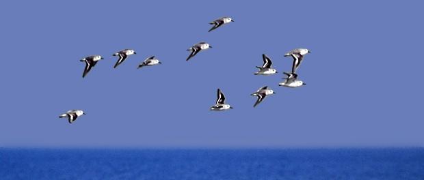 Correlimos tridáctilo: migrador de fondo – ¡Conócelas! 192 – Grupo Local SEO BARCELONA