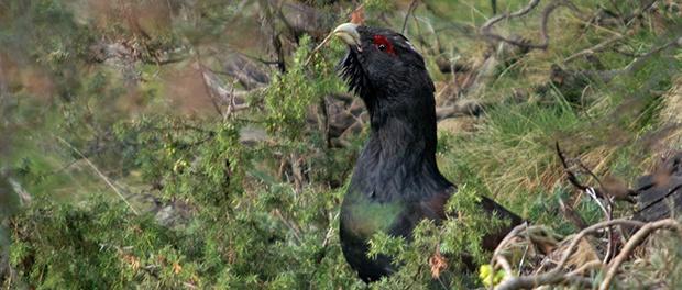 Urogallo común: el gran gallo en peligro – ¡Conócelas! 193 – Grupo Local SEO BARCELONA