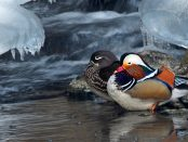 Pato mandarín: : el pato de gala – ¡Conócelas! 65 – Grupo Local SEO BARCELONA