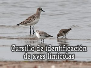 Cursillo de identificación de aves limícolas – septiembre 2019 – Grupo Local SEO Barcelona