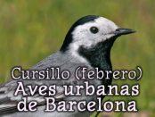 Curso aves urbanas – febrero 2018 – Grupo Local SEO Barcelona