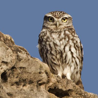 Excursión ornitológica a las Estepas de Lleida mayo 2017 Excursión ornitológica a las Estepas de Lleida mayo 2017 - Grupo Local SEO Barcelona