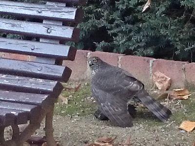 mirando águilas: gavilán en Collserola / Crónica de caza de una rapaz en el Parc del Laberint.