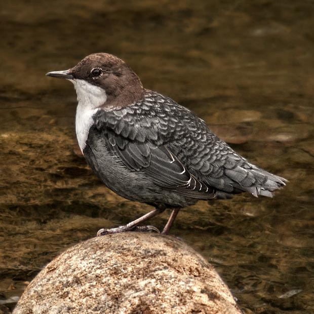 Mirlo acuático europeo: el pájaro buzo – ¡Conócelas! 112 – Grupo Local SEO BARCELONA