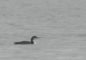 Observación de aves invernantes en el Delta de l´Ebre 13 de febrero 2016