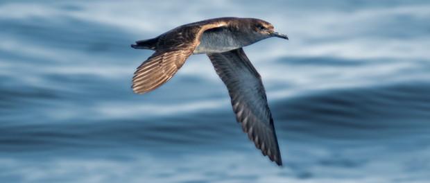 Pardela balear: el ave marina más amenazada de Europa – ¡Conócelas! 82 – Grupo Local SEO BARCELONA