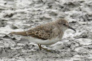 Salida ornitológica Delta del Ebro – 7 de septiembre de 2019