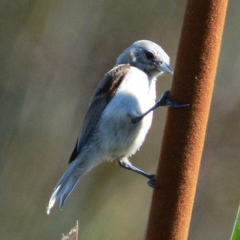 juvenil de pájaro-moscón europeo (Remiz pendulinus)