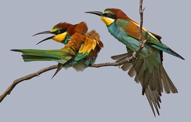 Abejaruco europeo, Chachuna (Georgia) abril 2016 - Viaje de boda, reflexiones en torno a la migración primaveral de las aves