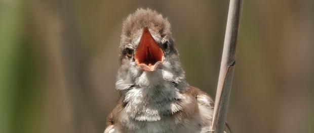 Viaje de boda, reflexiones en torno a lamigración primaveral de las aves