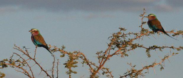 Carraca lila (Coracias caudatus)