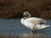 Cisne vulgar. Foto de Javier Ruiz.