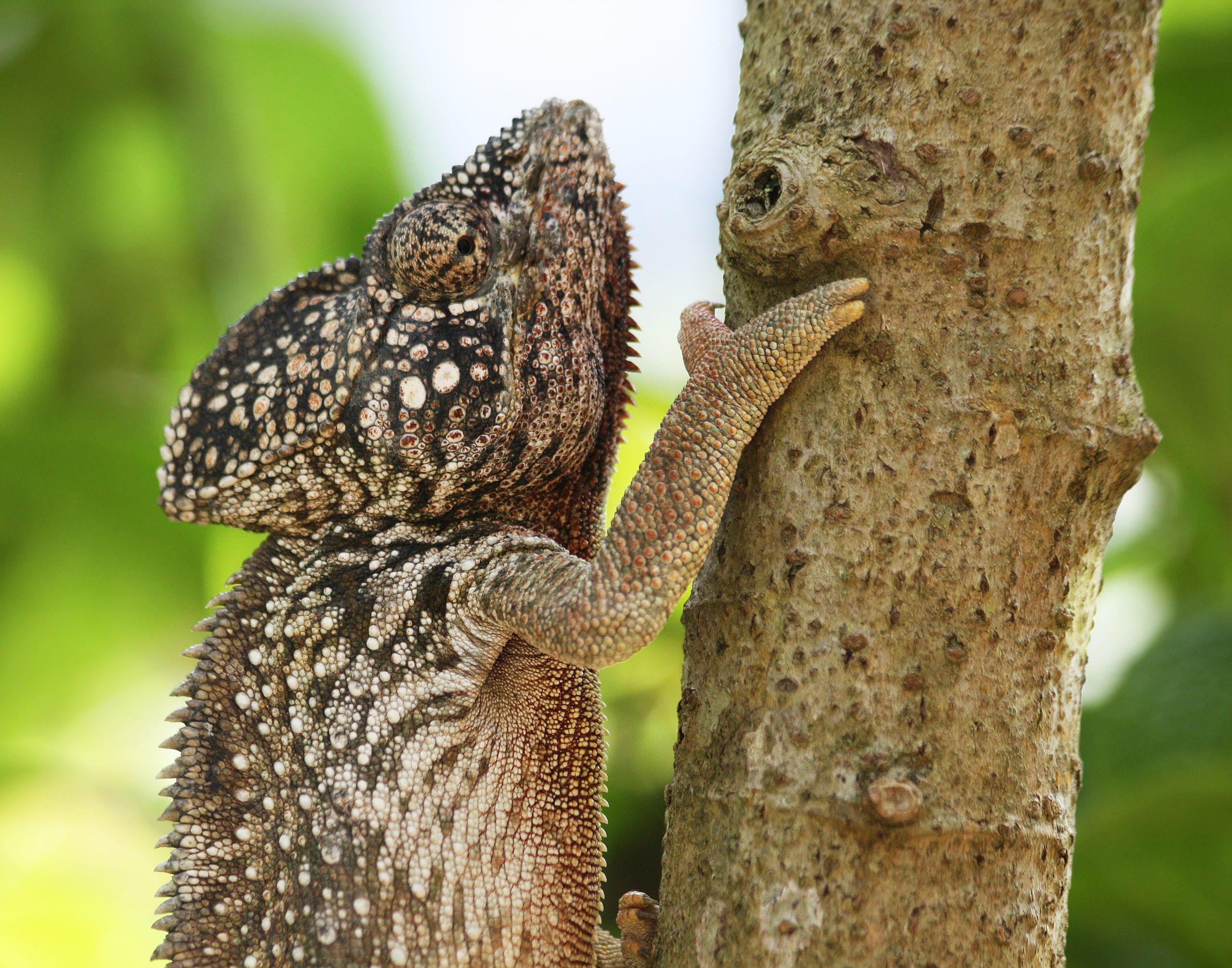 camaleon verrugos