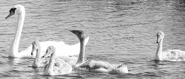 Cisnes en el lago Corrib