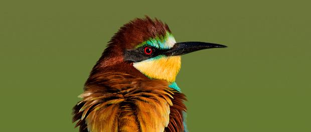 Abejaruco europeo: pantone con alas - ¡Conócelas! 31 – Grupo Local SEO BARCELONA