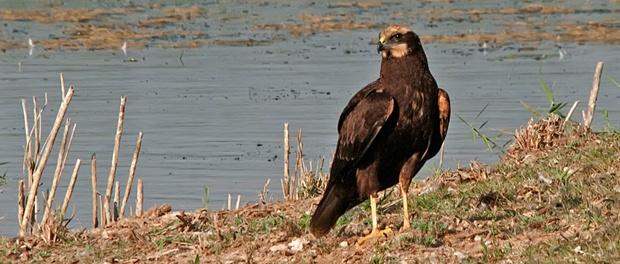Aguilucho lagunero occidental: el cazador discreto – ¡Conócelas! 169 – Grupo Local SEO BARCELONA