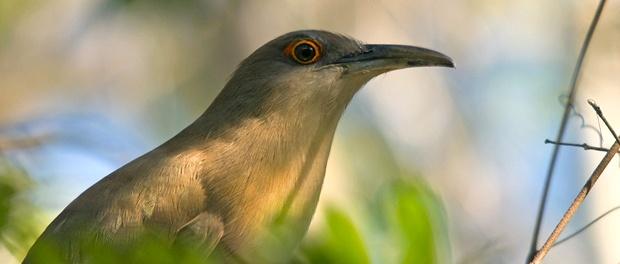 Cuco lagartero cubano: el cuco afrodisíaco – ¡Conócelas! 195 – Grupo Local SEO BARCELONA