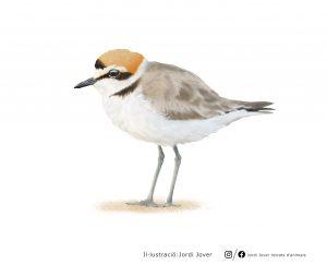 Ave del año 2019 SEO Birdlife - chorlitejo patinegro - ilustración Jordi Jover